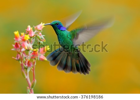 Hummingbird Green Violet-ear, Colibri thalassinus, fling next to beautiful ping orange yellow flower in natural habitat, bird from mountain tropical forest, Savegre, Costa Rica - stock photo
