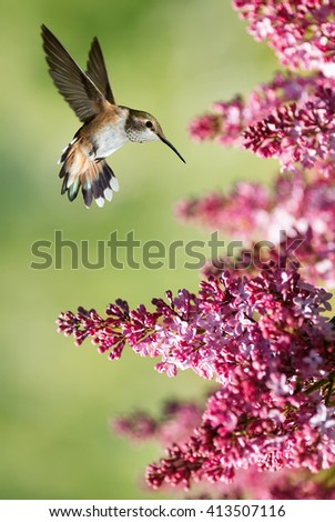 Hummingbird Hovering on Lilac over bright summer background - stock photo