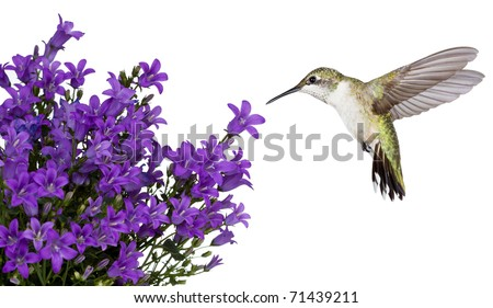 hummingbird hovers of a purple campanula get mee, white background - stock photo