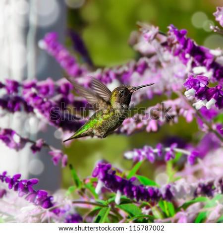 Hummingbird in flight, California - stock photo