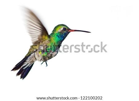Hummingbird in flight isolation - stock photo