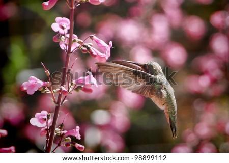 Hummingbird in Flower Garden - stock photo