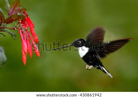 Hummingbird in fly. Flying bird from nature. Collared Inca, Coeligena torquata, dark green black and white hummingbird flying next to beautiful red flower, Colombia. Wildlife scene with exotic bird. - stock photo