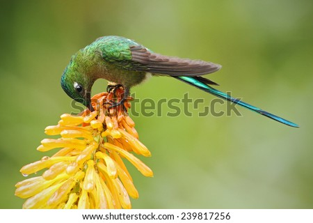 Hummingbird Long-tailed Sylph eating nectar from beautiful yellow strelicia flower in Ecuador - stock photo