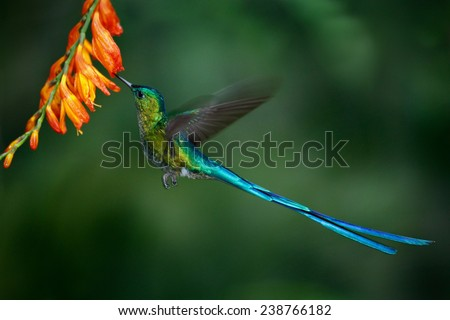 Hummingbird Long-tailed Sylph with long blue tail feeding nectar from orange flower - stock photo