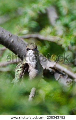 Hummingbird Making Eye Contact - stock photo