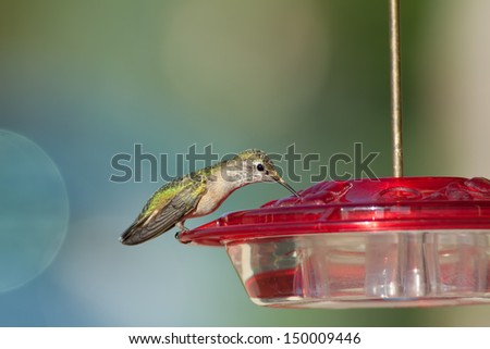 Hummingbird perched on red bird feeder drinking nectar with a blurred background - stock photo