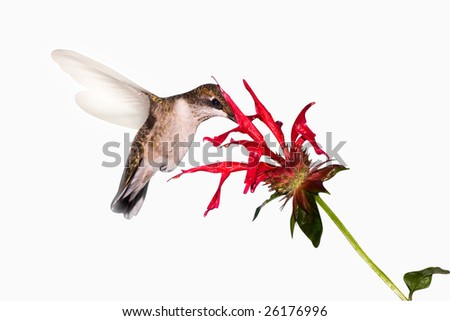 hummingbird searches the inside of a flower for food - stock photo