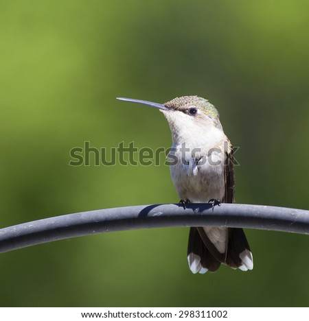 Hummingbird sitting on a metal tube with a green background - stock photo