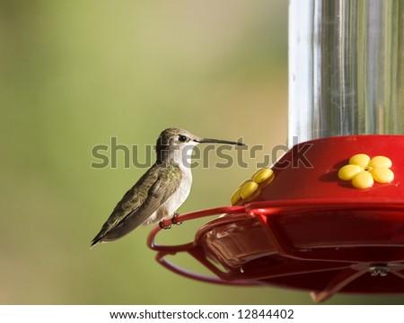 Hummingbird sitting on feeder - stock photo