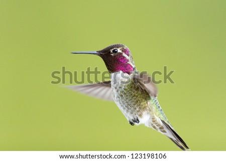 hummingbird suspending in mid-air - stock photo