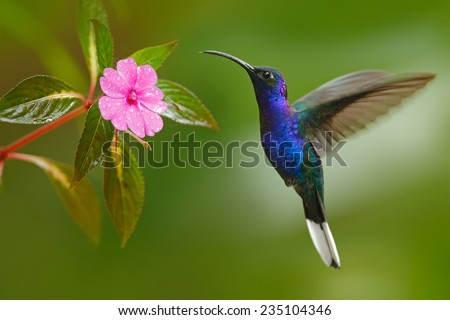 Hummingbird Violet Sabrewing flying next to beautiful pink flower - stock photo