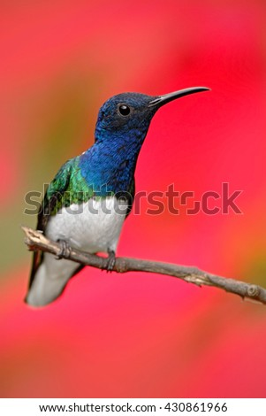 Hummingbird White-necked Jacobin, Florisuga mellivora, sitting next to beautiful red hibiscus flower with green bloom background, Tandayapa, Ecuador. Exotic tropic bird with red flower bloom. - stock photo
