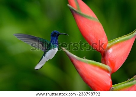 Hummingbird White-necked Jacobin flying next to beautiful red flower heliconia with green forest background - stock photo