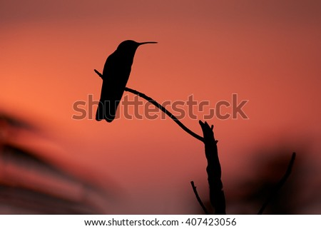 Hummingbirds black silhouette against evening red sky, perched on twig. Sierra Nevada de Santa Marta region, Colombia. - stock photo