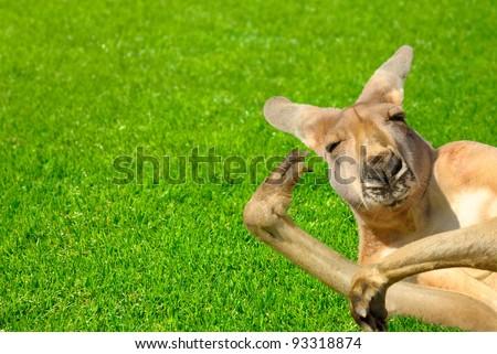 Humor shot of a lazy kangaroo enjoying the sunshine and posing in an amusing way - stock photo