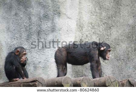 Humorous Image of a young Chimpanzee looking at the butt of another - stock photo