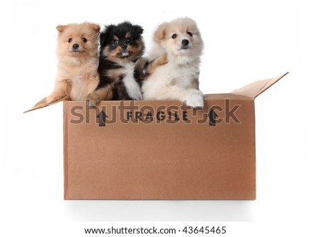 Humorous Image of 3 Pomeranian Puppies in a Cardboard Box on White - stock photo