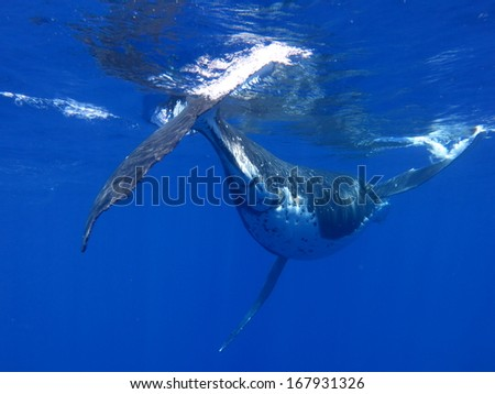 Hump back whale - stock photo
