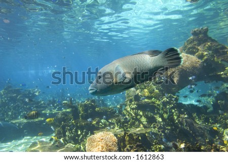 Hump-Headed Maori Wrasse from the Great Barrier Reef. Also known as a Giant or Napoleon Wrasse. (Cheilinus undulatus) - stock photo