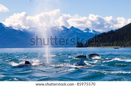 Humpaback Whales Playing in the Ocean in Juneau, Alaska - stock photo