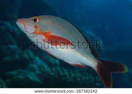Humpback red snapper (Lutjanus gibbus) in the tropical coral reef  - stock photo