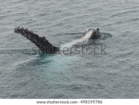 Humpback whale at Hervey Bay, Queensland, where the whales go on there holidays