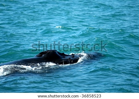 humpback whale blowhole - stock photo