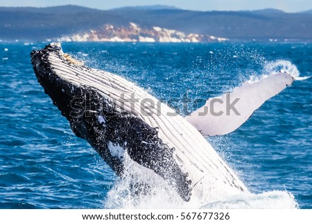 Humpback whale breaching, Hervey Bay, Queensland