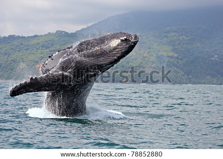 "Humpback whale breaching in ""Marino Ballena National Park"", Costa Rica - stock photo"