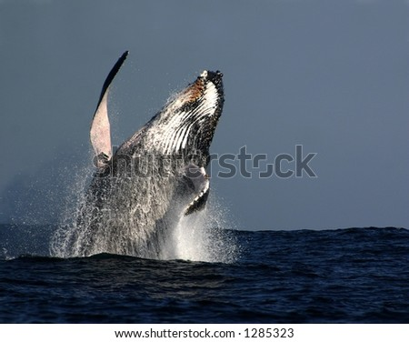 Humpback whale breaching in South Africa - stock photo