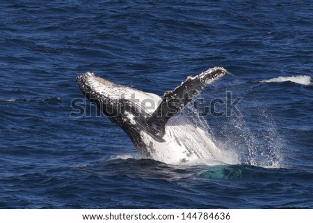 Humpback whale breaching in Whitsundays - stock photo
