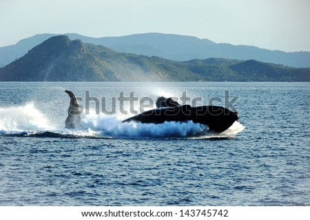 Humpback whale breaching on a high speed,Whitsundays,Australia - stock photo