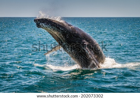 Humpback Whale Breaching, Western Australia, 4 of 7 - stock photo