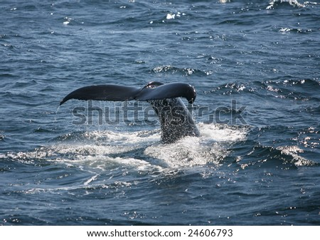 Humpback Whale Flipping Tail
