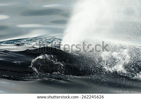 Humpback Whale - Greenland - stock photo