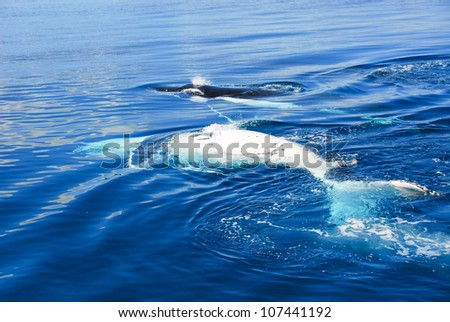Humpback Whale in Hervey bay, Australia - stock photo