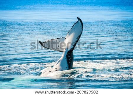 Humpback Whale in Hervey bay, Queensland (Australia) - stock photo