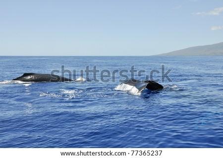 Humpback Whale in Lahaina, Maui, Hawaii - stock photo