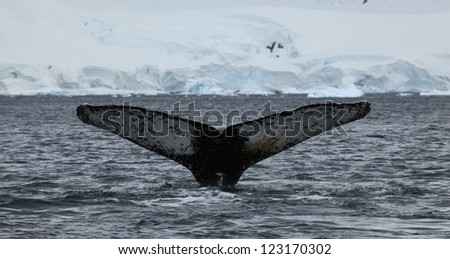 Humpback Whale in the Antarctica - stock photo