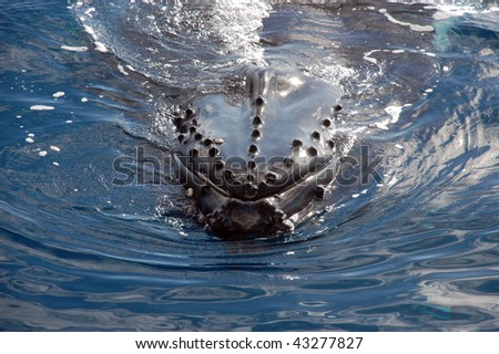 Humpback whale in the ocean - stock photo