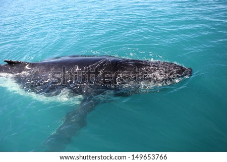 Humpback whale in the seas of Australia - stock photo