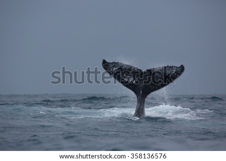 Humpback whale is showing tail. Madagascar. The water area of the island of St. Mary.