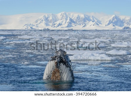 Humpback whale looking from blue sea water at the boat, with floating ice around and snowy mountains in background, Antarctic Peninsula - stock photo