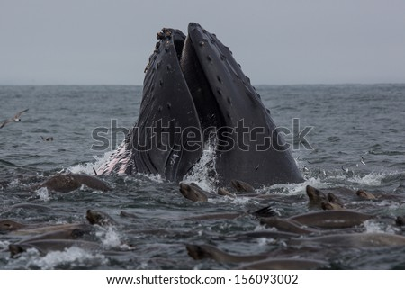 Humpback Whale (Megaptera novaeangliae) - stock photo