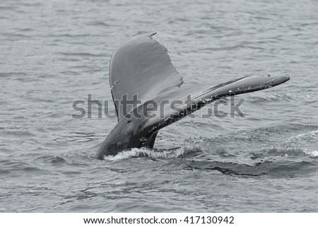 Humpback Whale  (Megaptera novaeangliae) - Fin tastic - stock photo