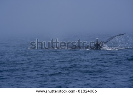 Humpback Whale - Megaptera novaeangliae in front of Vancouver Island, British Columbia, Canada - stock photo