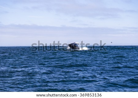 Humpback whale (Megaptera novaeangliae)jumping out of water in Monterey bay, California - stock photo