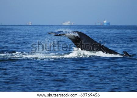 Humpback Whale, Megaptera novaeangliae, Namibia - stock photo