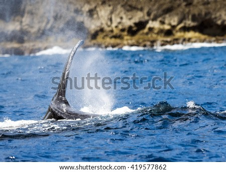 Humpback Whale Migrating - stock photo